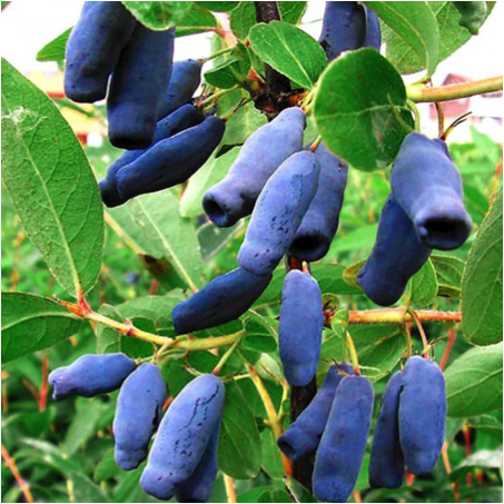Zimolez modrý - pěstování